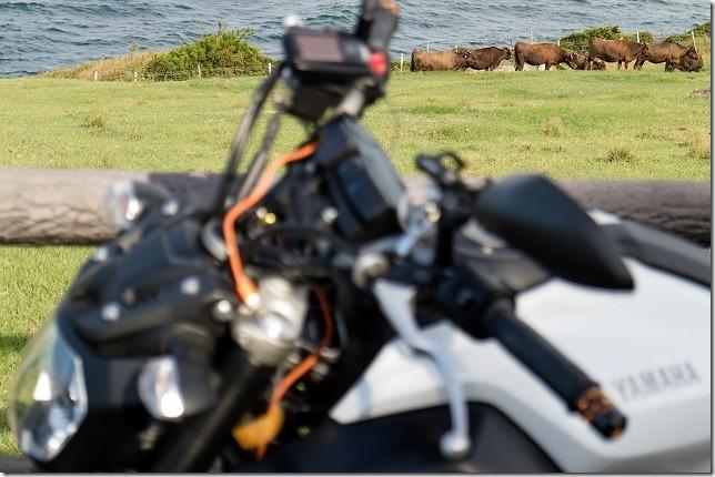 加部島の牛とバイク