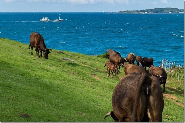 加部島、杉の原放牧場の牛