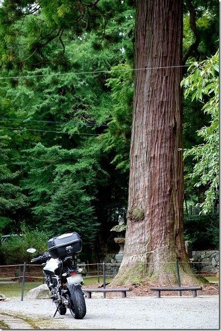 糸島、雷神社の大杉とバイク(MT-07)