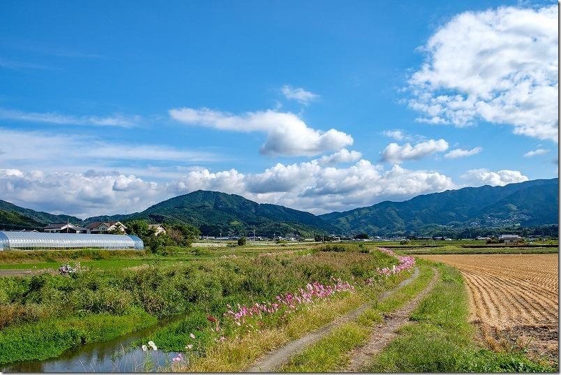 糸島、川沿いのコスモスのあぜ道