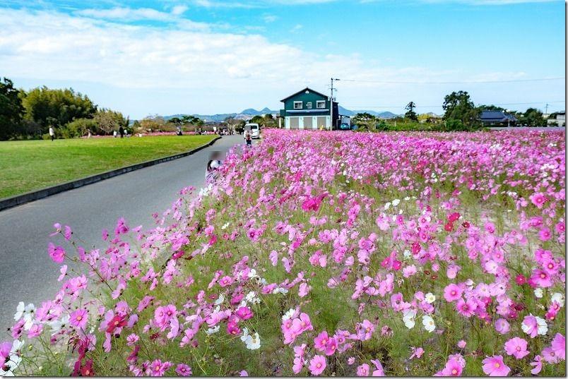 糸島。平原歴史公園のコスモス畑