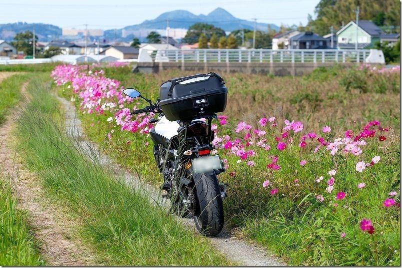 糸島、川沿いのコスモスのあぜ道、MT-07ツーリング