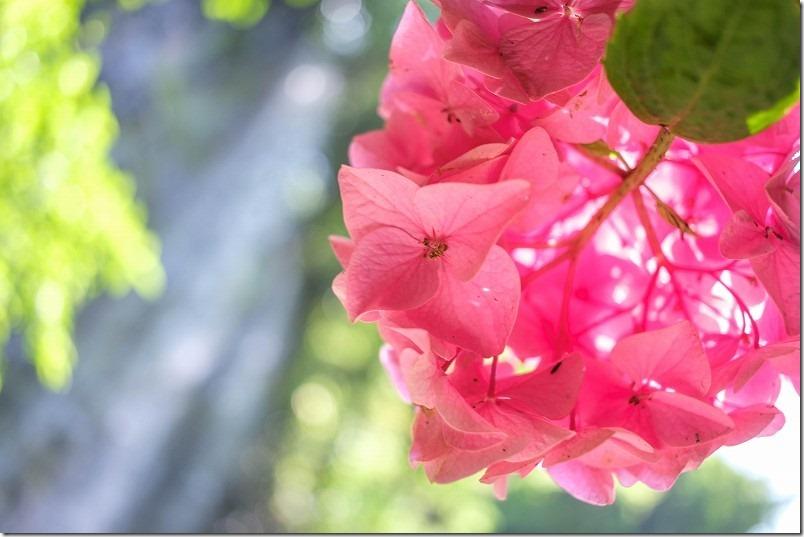 高串温泉近くの白糸の滝と紫陽花